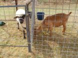 4H farm animals